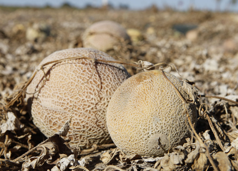 This Sept. 28, 2011 photo shows cantaloupes rotting in a Colorado field. The U.S. Food and Drug Administration proposed the most sweeping food safety rules in decades, requiring farmers and food companies to be more vigilant in the wake of deadly outbreaks.
