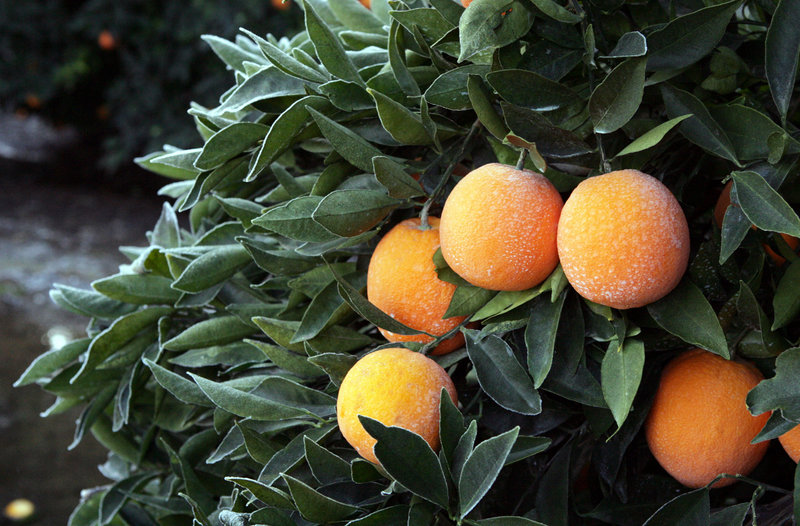 Prolonged temperatures in the mid-20s in California are threatening to damage the $1.5 billion citrus industry.