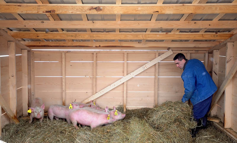 Steven Booker, an inmate at the Somerset County Jail in Skowhegan, tends to the pigs Thursday at the jail. The pigs will be raised for food and also offer an avenue for inmates to work outside and gain a new skill.