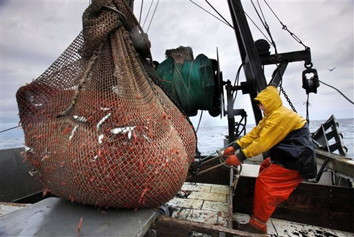 In this Friday, Jan. 6, 2012 photo, James Rich maneuvers a bulging net full of northern shrimp caught in the Gulf of Maine. (AP Photo/Robert F. Bukaty)