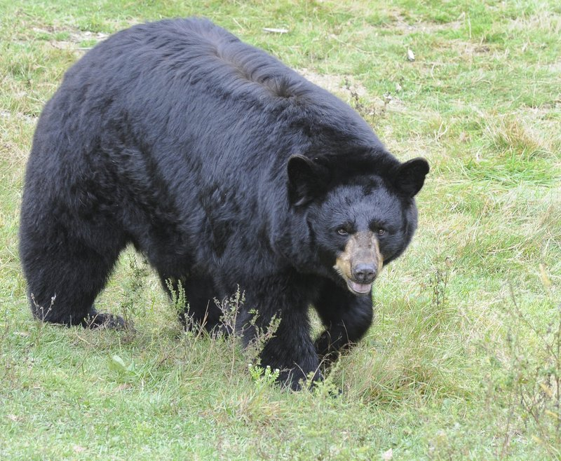 A study using a video camera and GPS devices will provide information about the central Maine black bear population.