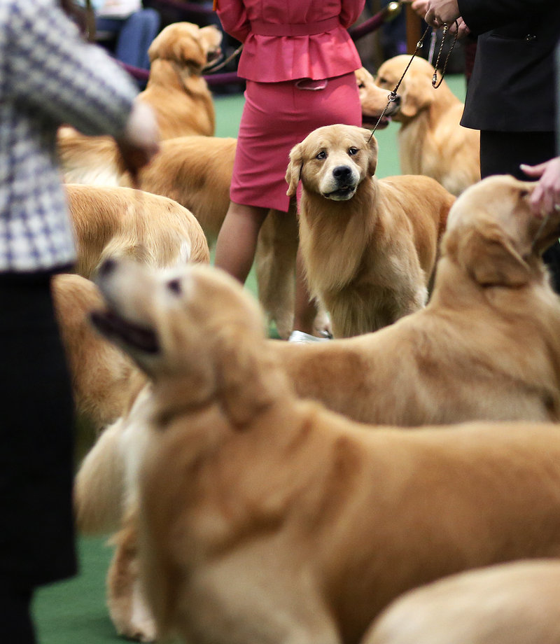 The best in breed competition for golden retrievers at the 137th annual Westminster Kennel Club Dog Show at Pier 94 in New York City, New York, Tuesday, February 12, 2013, featured 61 entries, making for a crowded show ring.