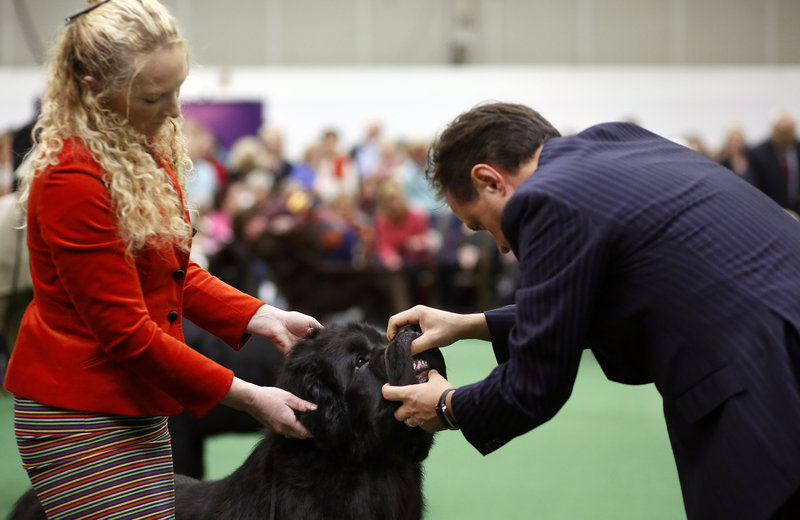 Quincy the Newfoundland, held by handler Karen Hansen at left, is examined by Judge Espen Engh during the best of breed competition at the 137th annual Westminster Kennel Club Dog Show at Pier 92 and Pier 94 in New York City, New York, Tuesday, February 12, 2013. Quincy is owned by Sue Mendleson of Washington, Maine.