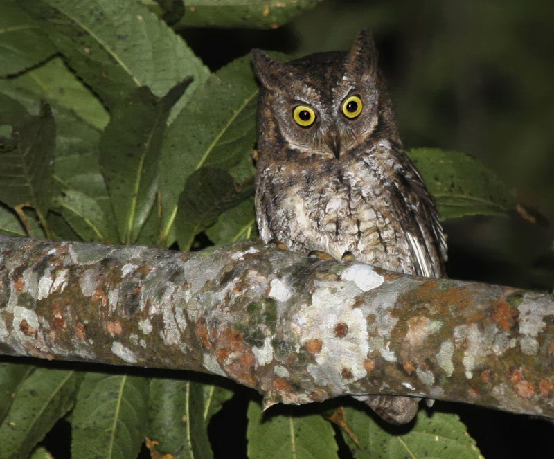 Researchers were tipped off to the presence of the Rinjani Scops owl by its distinctive call. The bird has been found only on Indonesia's Lombok island.