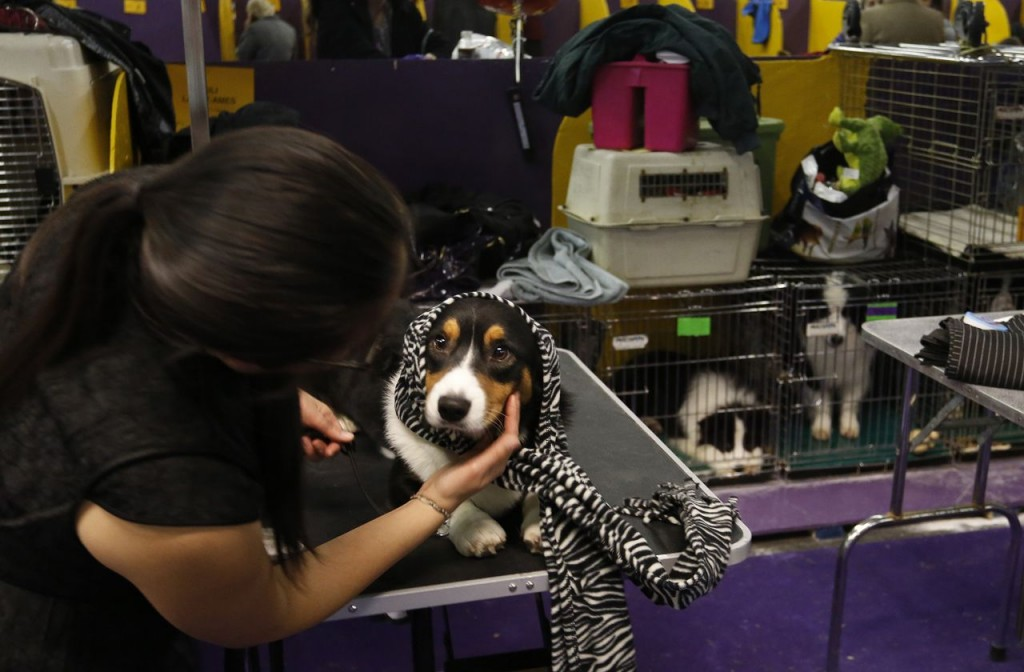 Porter, a cardigan Welsh corgi, is cared for by Diana Chou, assistant to Porter's handler, in the benching area at the 137th annual Westminster Kennel Club Dog Show at Pier 94 in New York City on Monday.