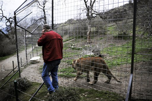 Dale Anderson, founder of Project Survival Cat Haven near Dunlap, Calif, walks Thursday with Pele, a female lion, at the same fenced habitat area where a day earlier Cat Haven sanctuary worker Dianna Hanson, 24, died from an attack by Cous Cous, a male lion twice the size of Pele, according to Anderson.
