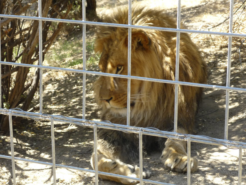 This 2012 photo provided by KFSN-TV shows a male African lion named Cous Cous at Cat Haven, a private wild animal park in Dunlap, Calif.