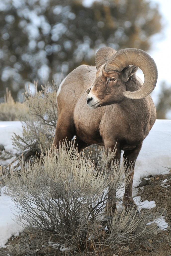 A bighorn sheep munches on a blade of grass in Yellowstone National Park in Gardiner, Mont.