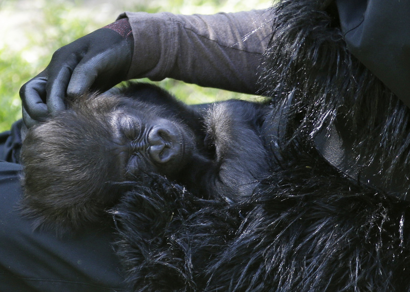 Ashley Chance pets a 3-month-old western lowland gorilla named Gladys Stones as she sleeps in her lap Tuesday at the outdoor gorilla exhibit at the Cincinnati Zoo in Cincinnati.