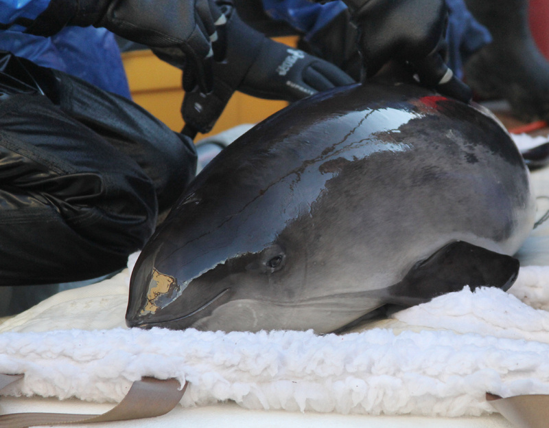 Personnell from the Riverhead Foundation for Marine Research and Preservation tend to Noodle, a harbor porpoise who was found stranded in Maine in October. The foundation plans to release Noodle back into the wild Saturday.