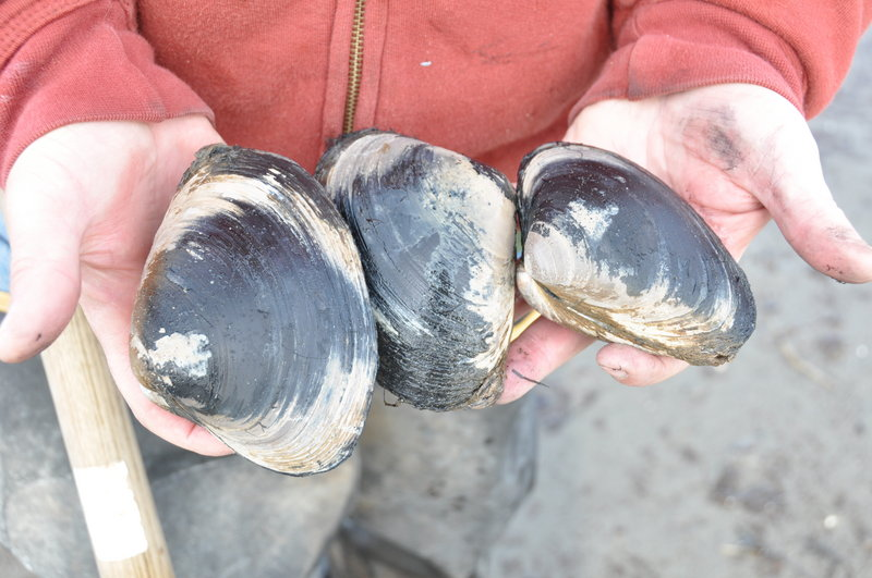 Surf clams can exceed eight inches in length, and low lunar tides offer an excellent opportunity to go digging. The popular mollusks are normally a summer treat, but now's a good time to get a taste of that balmier season.