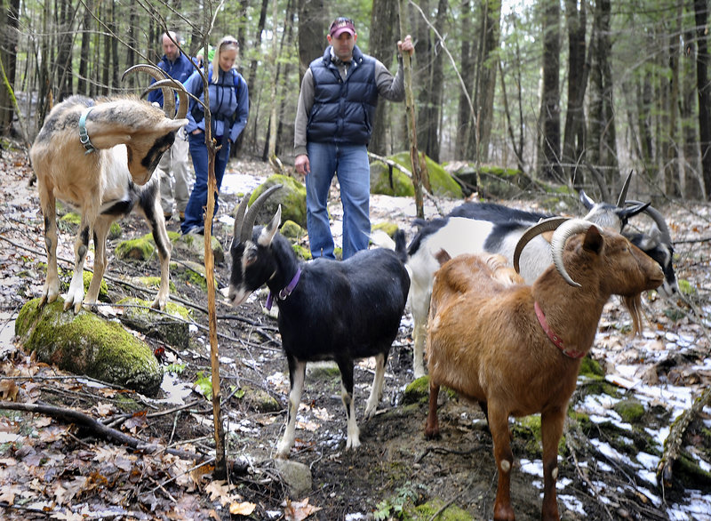 Owner Karl Schatz and a few hikers among goats meandering through woodlands still bearing snowy patches at Ten Apple Farm in Cumberland County.