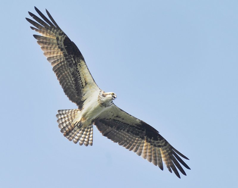 Ospreys, which return to Maine in April, sometimes fly as high as 200 yards above the water before making their dive and grabbing a fish with razor-sharp talons.