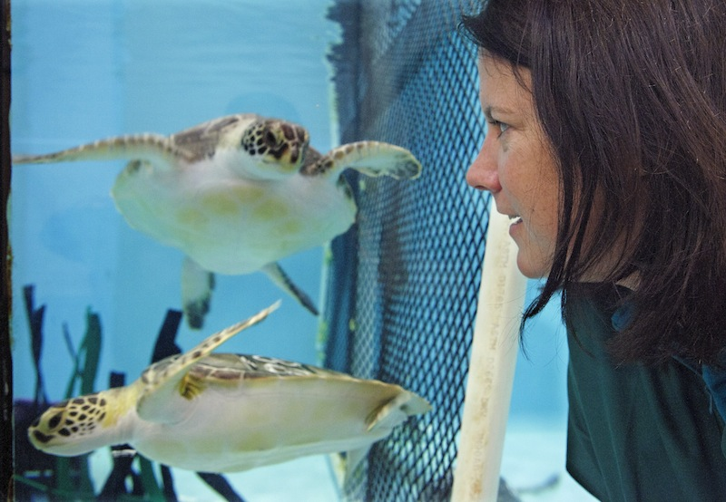 Acupuncturist Claire McManus watches a pair of sea turtles, who are recovering from a stranding, as they swim at the New England Aquarium's animal care center in Quincy, Mass., Monday, May 20, 2013. McManus treated two other sea turtles who were injured after getting stranded on Cape Cod during a prolonged exposure to cold weather. (AP Photo/Rodrique Ngowi)