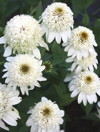 """Milkshake"" is considered a great echinacea."