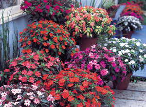 SunPatiens will grow in full sun, but if they replace impatiens suffering from downy mildew in the shade, it's best to choose shorter ones.