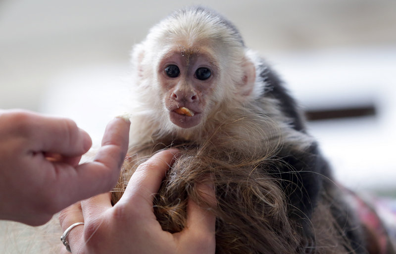 Mally, now 20 weeks old, sits on the head of an animal shelter staffer in Munich, Germany.