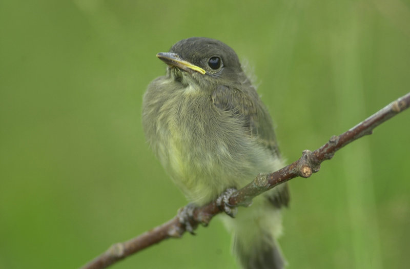 The Easter phoebe depends on catching flying insects for food, so these birds aren't seen in Maine until April.