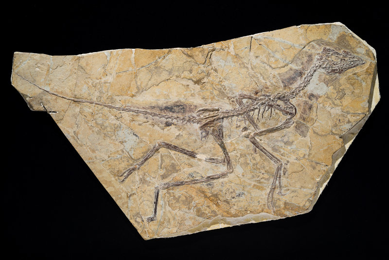 Image shows the skeleton of a recently discovered dinosaur dubbed Aurornis xui that roamed China during the middle to late Jurassic period.