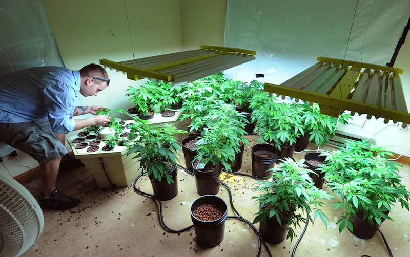 In this May 2011 file photo, Robert Rosso, a state-licensed medical marijuana grower, tends to his plants. The Portland City Council voted unanimously Monday to hold a public hearing July 15 on whether the city should legalize recreational use of marijuana.