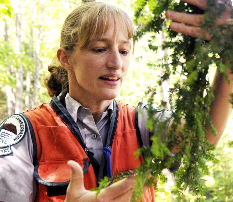 Entomologist Allison Kanoti checks the undersides of hemlock tree branches in Harpswell for hemlock woolly adelgid, an invasive insect that feeds off the tree's sap, in 2010.