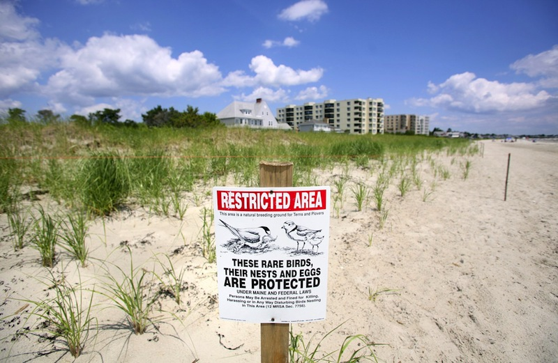 In this 2011 file photo, signs showing a protected area for piping plovers in Old Orchard beach. Maine Game Wardens and federal authorities are seeking a witness in the death of a federally protected Piping Plover chick, which they say was killed by a dog on a Scarborough beach.