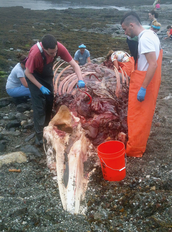 Students from the Shoals Marine Lab in Portsmouth, N.H., examine the carcass of a 25-foot minke whale that washed up near homes on Running Tide Road in Cape Elizabeth on Wednesday.