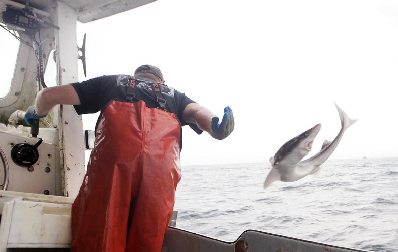 After pulling a dogfish from one of his longlines, a fisherman tosses the fish onto the deck aboard his fishing vessel in the Atlantic waters off Chatham, Mass.