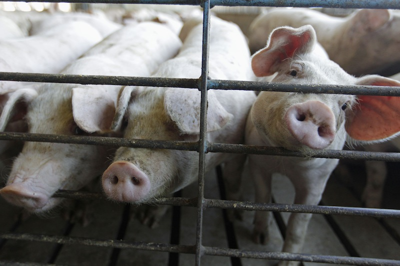 This June, 28, 2012, file photo shows hogs at a farm in Buckhart, Ill. Pork prices could rise in the next months of the summer of 2013 because of a virus that has migrated to the U.S., killing piglets in 15 states at an alarming rate in facilities where it has been reported. Colorado and 14 other states began reporting the virus in April 2013, and officials have confirmed its presence in about 200 hog facilities around the nation. (AP Photo/M. Spencer Green, File)