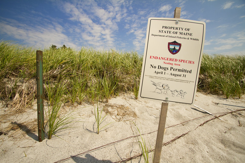 A sign on Pine Point Beach in Scarborough on Wednesday indicates a plover nesting location, and a prohibition on unleashed dogs. Piping plovers are classified as an endangered species by the state and a threatened species by the U.S. Fish and Wildlife Service. Maine has just 47 nesting pairs of piping plovers.