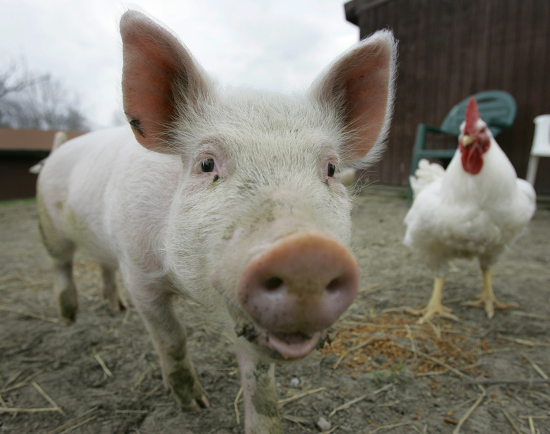 Some researchers say pigs' cognitive abilities are superior to 3-year-old children, as well as to dogs and cats.