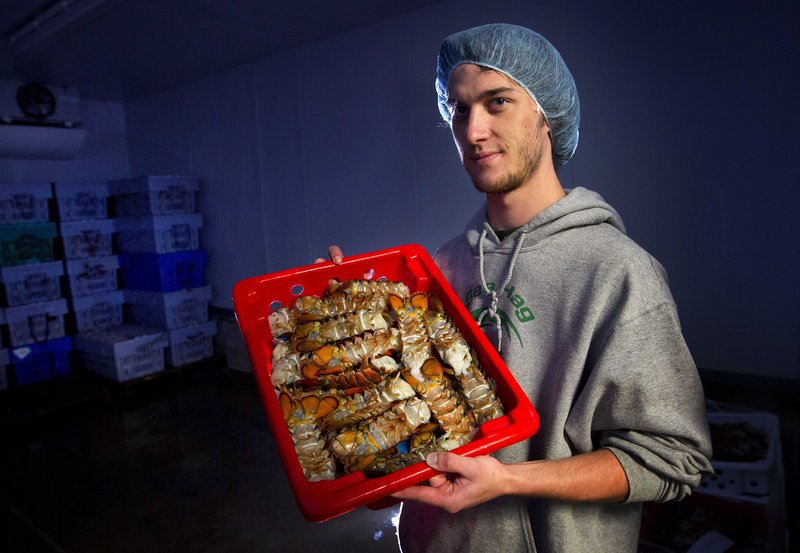 In this Friday, June 28, 2013, photo, Kyle Murdock, owner of Sea Hag Lobster Processing, holds a tray of lobster tails in a refrigerator at his plant in Tenants Harbor, Maine. New lobster processors are opening in Maine following last year's turbulent lobster season when Canadian fishermen were blocking truckloads of Maine-caught lobster from delivery at processors there. (AP Photo/Robert F. Bukaty)