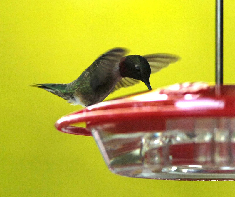 A hummingbird visits a feeder in Bath. The tiny acrobats feast on the nectar of flowers, and on insects and spiders, but also like feeders filled with sugar water.