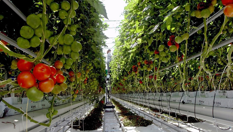 In this 2009 file photo, tomato plants ripen inside a greenhouse at Backyard Fams in Madison. The 2013 crop has been destroyed by a whitefly infestation.