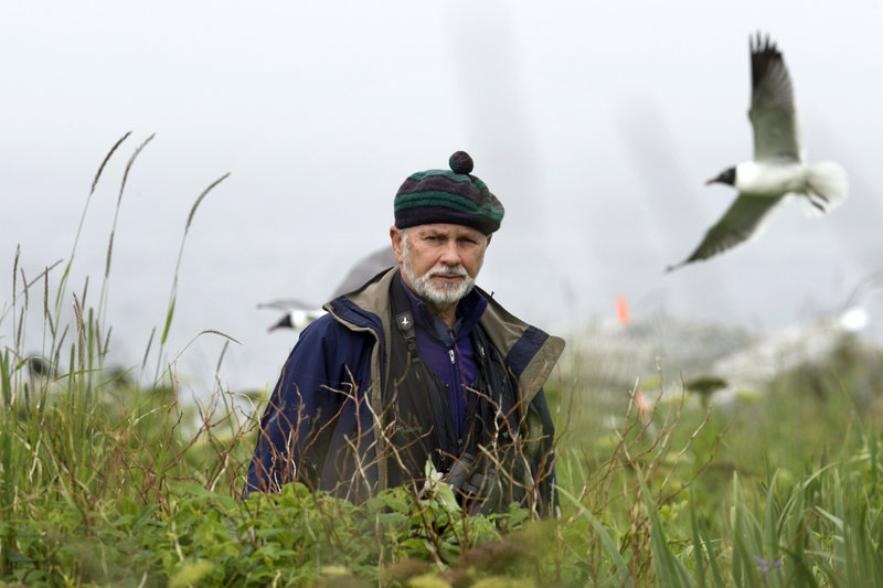 Dr. Steve Kress walks through tall vegetation on Eastern Egg Rock, a 7-acre island where he led the successful effort to recolonize puffins off the Maine coast.