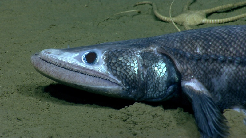 A bathysaurus is one of the stranger looking animals researchers saw in Veatch Canyon. These fish use their lower jaw to scoop in the sand. NOAA;Okeanos;Explorer