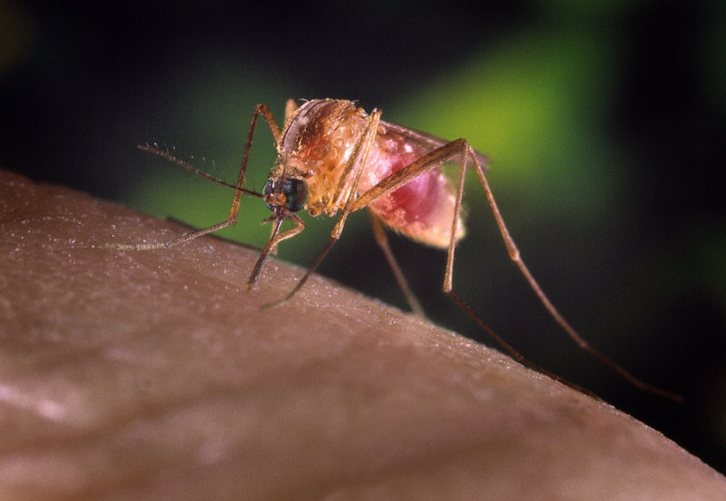 A Culex quinquefasciatus mosquito is shown on a human finger in this undated handout photograph from the Centers for Disease Control and Prevention (CDC). The Maine CDC and Prevention has confirmed the presence of the eastern equine encephalitis virus in a sampling of mosquitoes collected in York, the second sampling in the state to test positive for the disease this year. (REUTERS/James Gathany/Center For Disease Control/Handout)