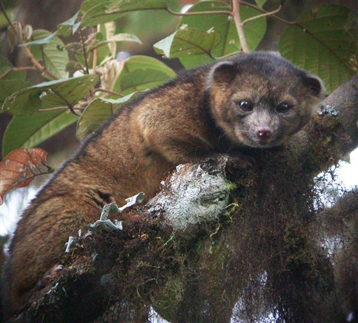 This undated handout photo provided by Mark Gurney shows an olinguito. Researchers say the new species of mammal belongs to the grouping of large creatures that include dogs, cats and bears.