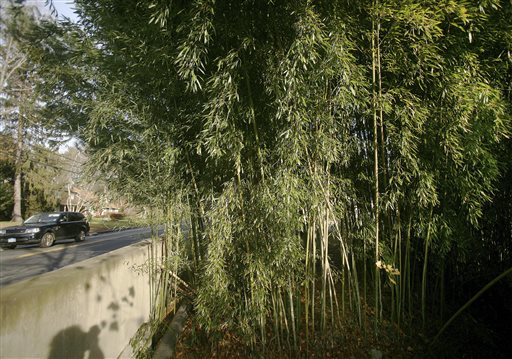 This Nov. 28, 2012, photo shows a large stand of bamboo in Westport, Conn. The state's general assembly passed a law effective Oct. 1 making people who plant an aggressive variety of running bamboo on their property liable for damages caused from allowing the plant to grow and spread to a neighboring property.