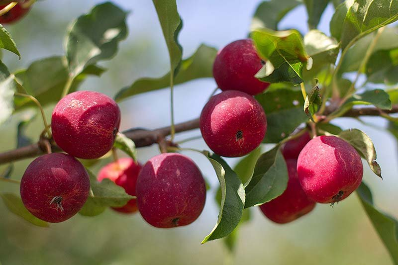 Crab apples grow at the Rocky Ridge Orchard in Bowdoin. New England's apple crop is expected to be just below its five-year average for 2013, but much better than the 2012 season, challenged by late frost and hail.