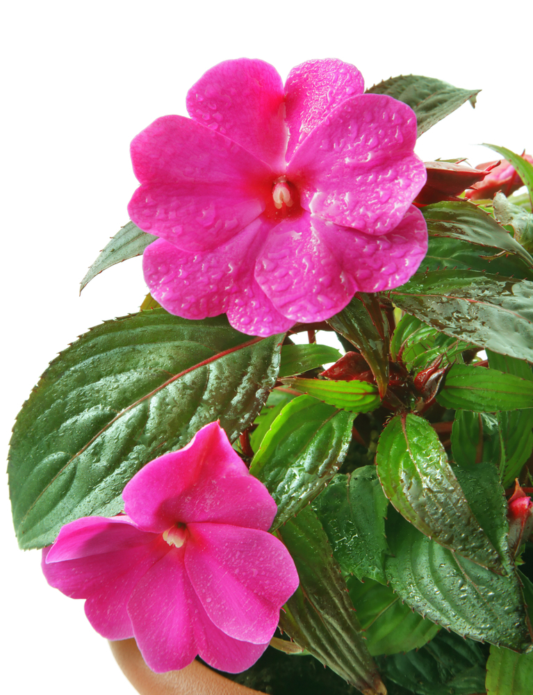 The prediction of impatiens succumbing to downy mildew this year happily did not prove to be accurate.