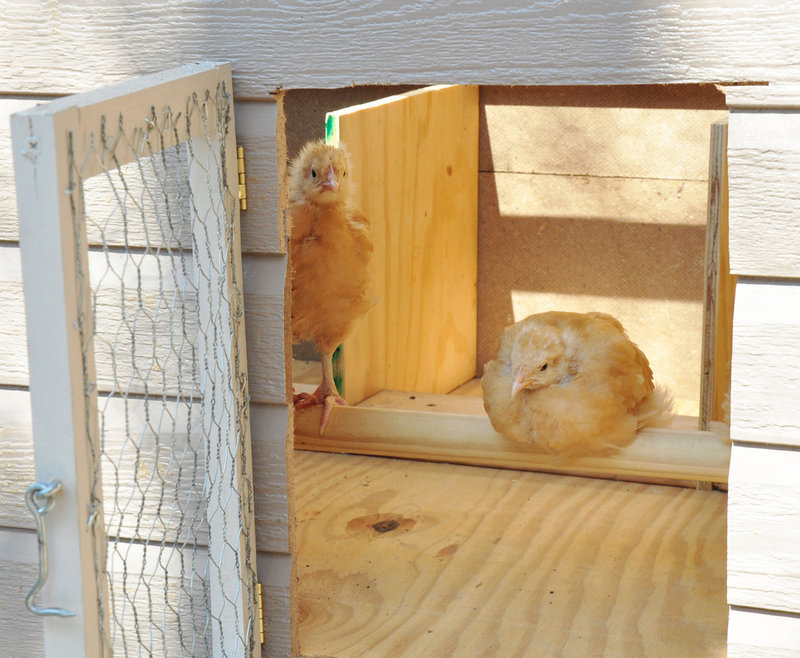 Nationwide, the trend of keeping backyard chickens is growing. Because chickens lay eggs regularly for only two or three years, the question is becoming this: What happens to the birds who are past their egg-producing prime?