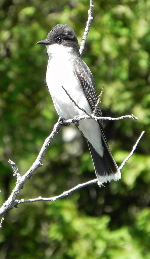 Eastern kingbirds are king of all they survey, no matter the intruder, and can be aggressive when nesting.