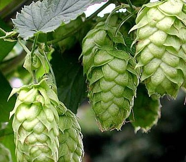 Hops, shown here, is the spice of beer and malt is the soul of beer, but it all begins with yeast, says Julie Jenney.