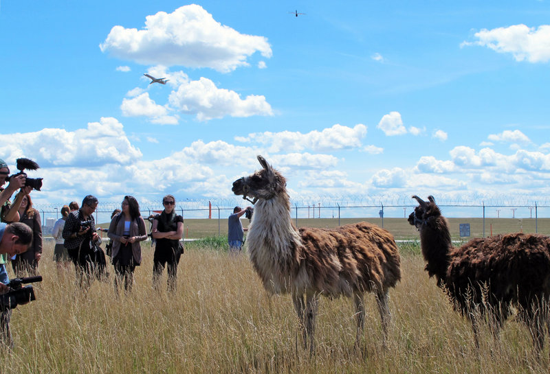 Journalists gather Tuesday in a remote corner of O'Hare International Airport in Chicago, to get a look at a low-tech project involving a herd of goats, sheep, llamas and wild burros. Their mission is to mow the grass. And lots of it.
