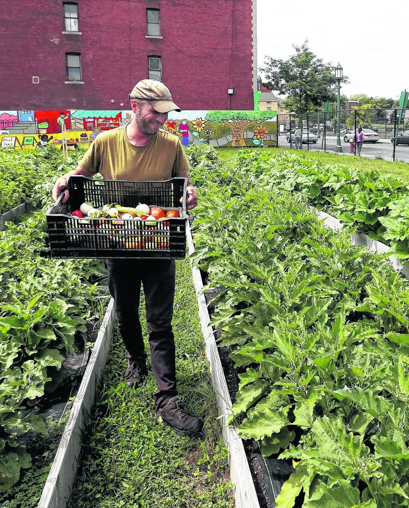 Rodger Phillips, farm manager for Grow Hartford, looks for ripe Japanese white eggplants at a field in Hartford, Conn.
