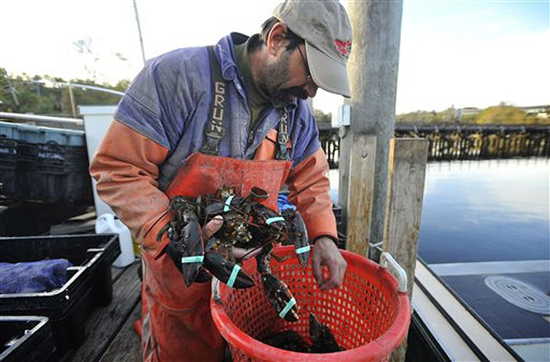 Mike Theiler pulls lobsters he harvested out of a basket on a dock in New London, Conn. Full-time lobstermen in Connecticut are preparing for the first seasonal shutdown on Long Island Sound, which begins Sunday and runs through Nov. 28.