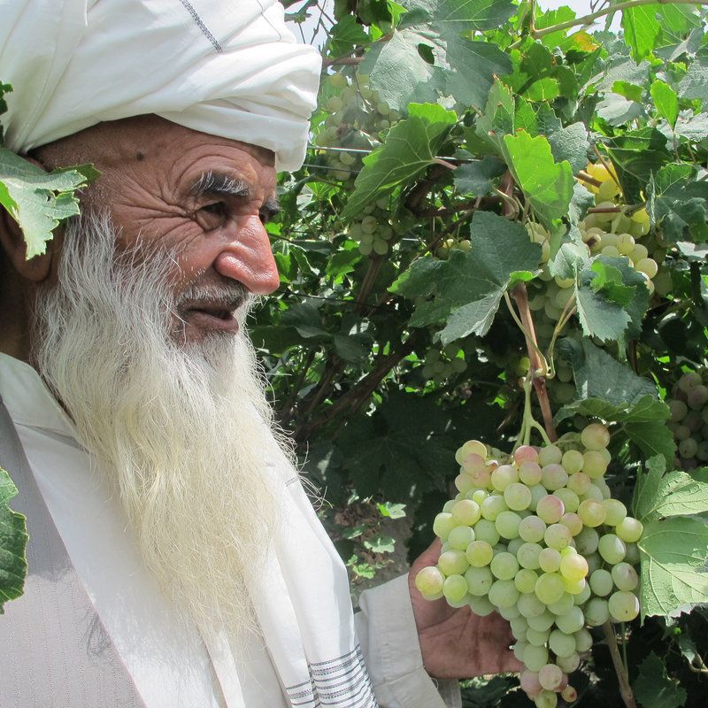 Hajji Hazrat Mahmad, 70, was persuaded by his son to switch to modern methods of growing grapes in his family vineyards, but taking financial risks is rare in Afghanistan's rural society.