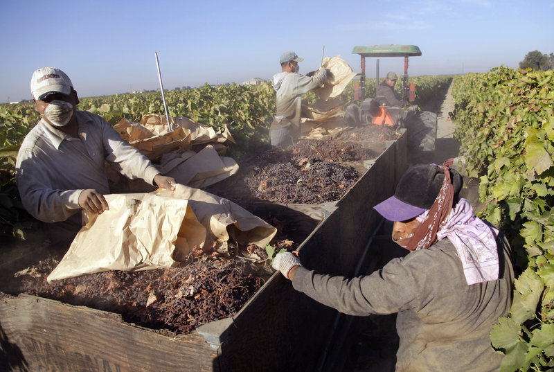 Farmworkers pick paper trays of dried raisins off the ground and heap them onto a trailer in the final step of raisin harvest near Fresno, Calif.