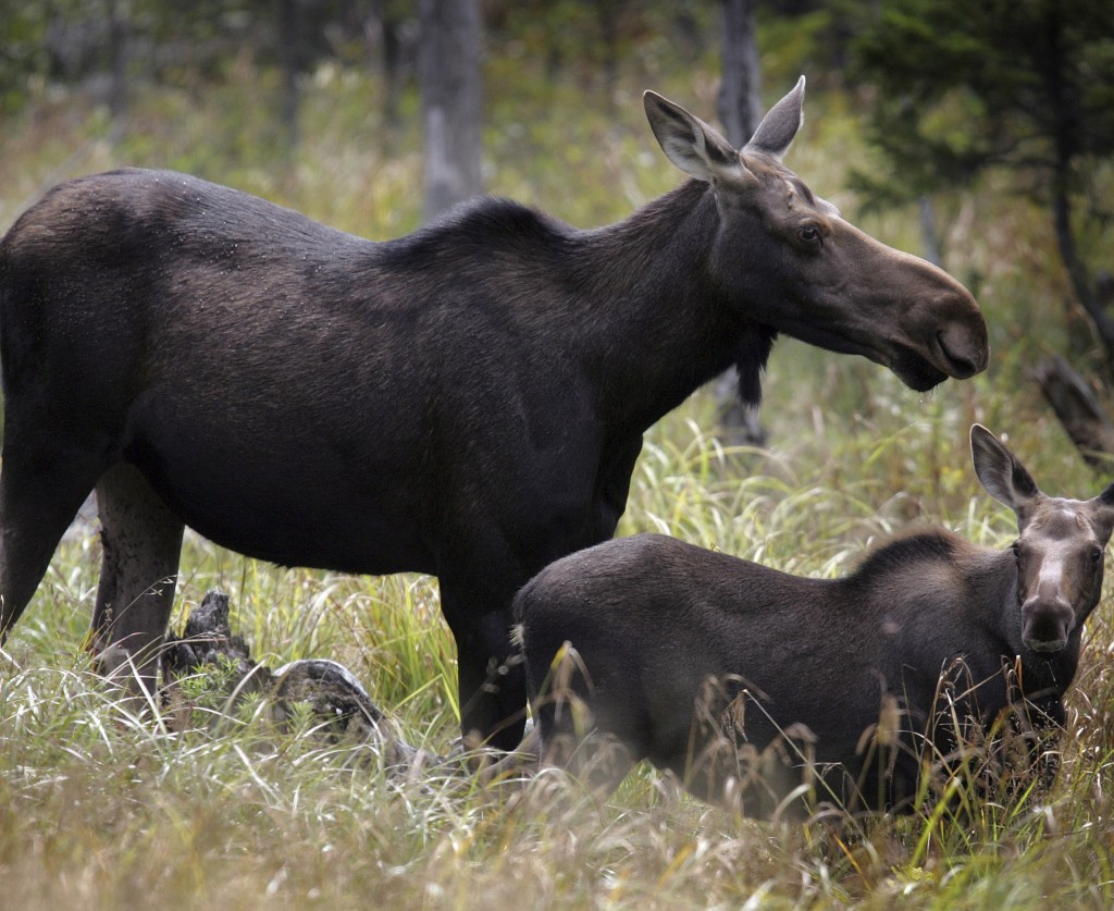 New Hampshire hunters found the most success in the northern part of the state, such as the Franconia Notch region, where the moose herd is thought to be thriving.